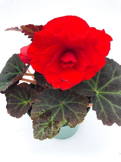 "4"" Begonia Non - Stop Mocca"