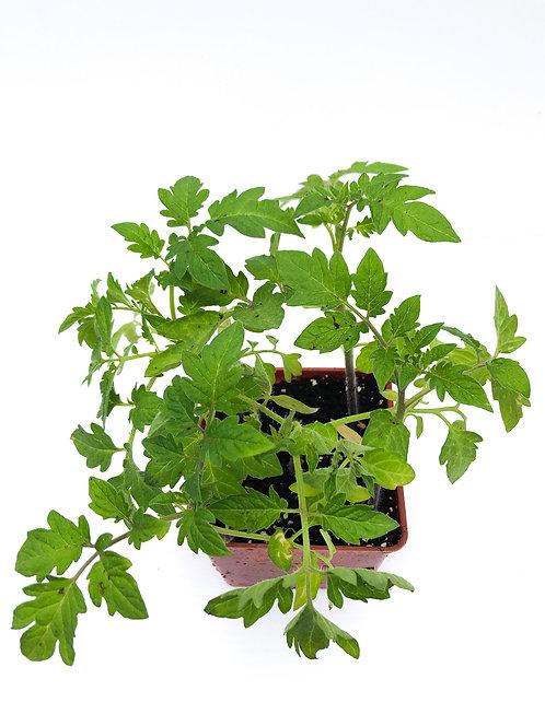 Tomato  Plants -Multiple