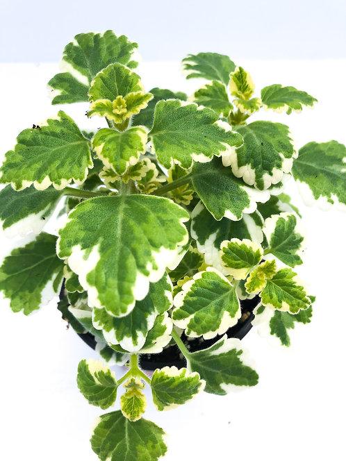 "4"" Swedish Ivy"