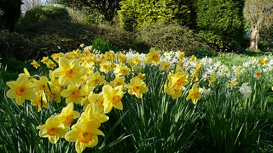 narcissi Shallowdale House