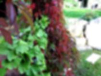 ginkgobaum am spalier pflanzen