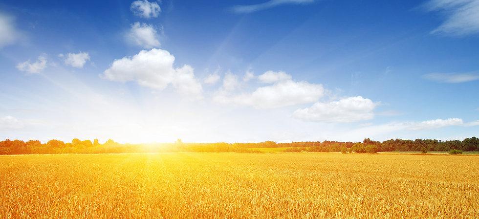wheat field2.jpg