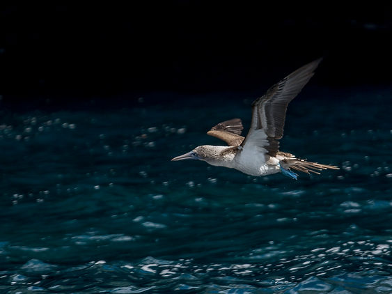 Blue footed booby 1.jpg
