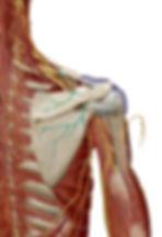 肩甲上神経の走行 腕のしびれる箇所