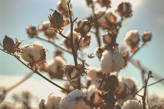 Just #cotton_#cottonfield #lightslove #i