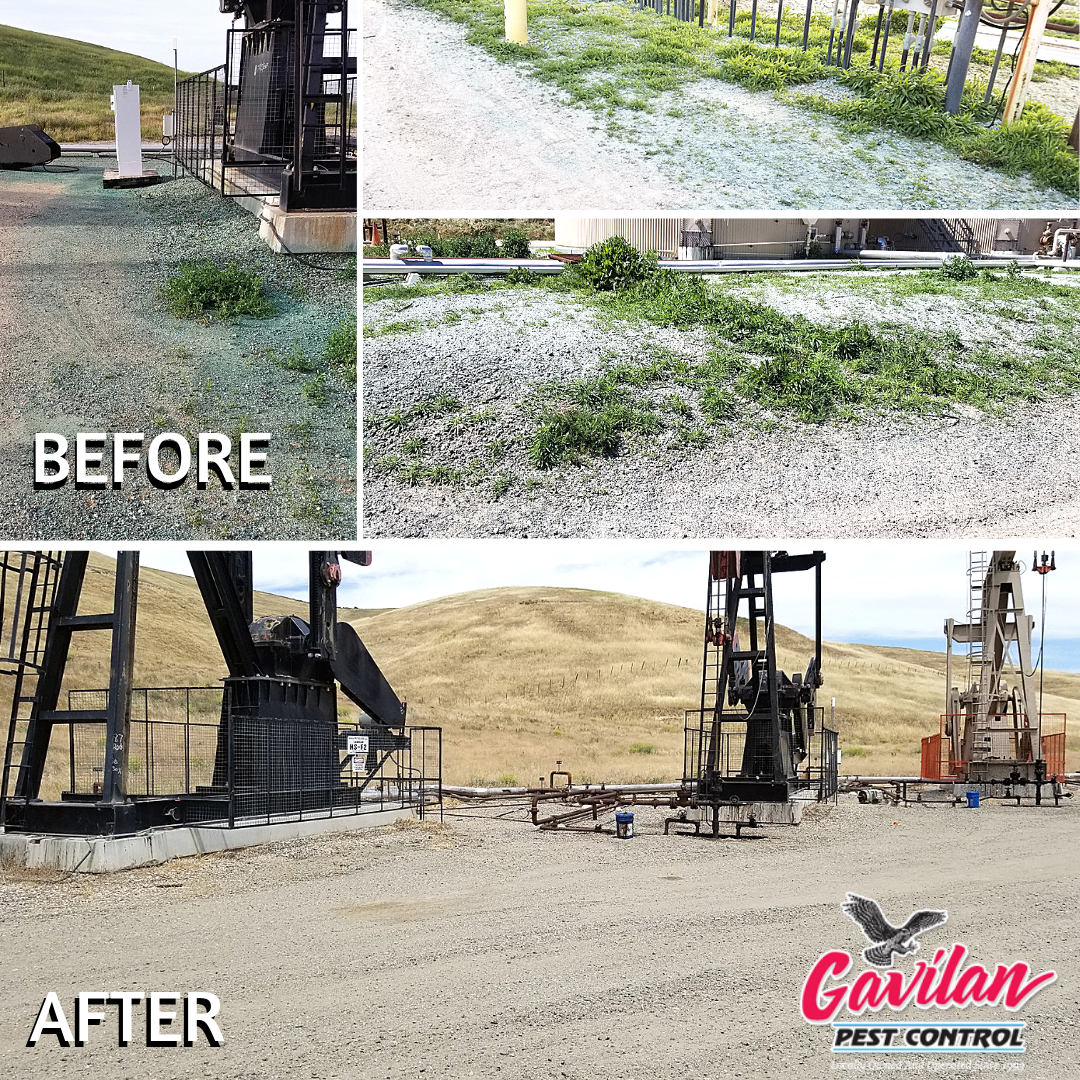 weed spraying before and after