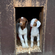 Bailey Goat2.JPG