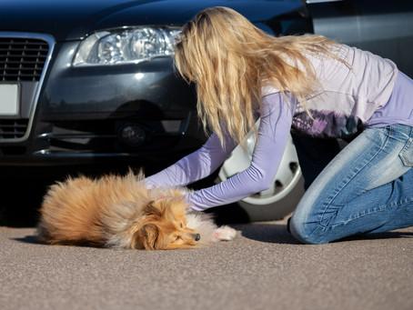 Vehicle Trauma and your Dog