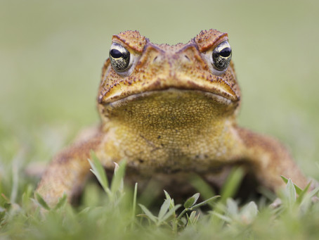 Cane Toad Poisoning and your Dog