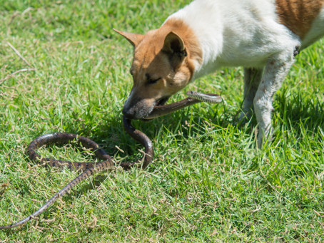 Snake Bite and your Dog