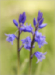 36_bluebells.jpg