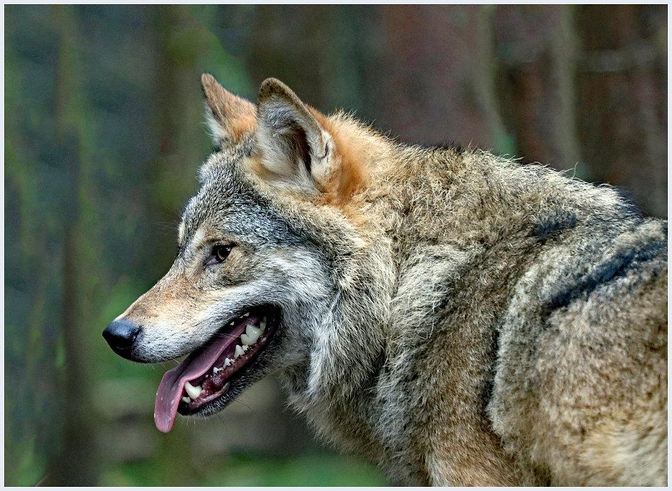 14_European Wolf.jpg
