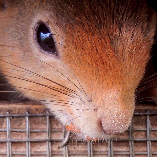 The Nut Thief (Red Squirrel).jpg