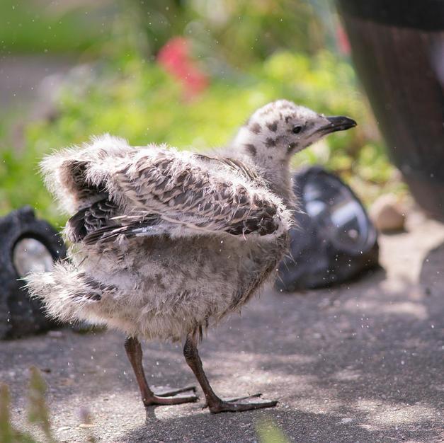 Herring Gull chick after bath.jpg
