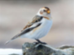 11-823_Contented Snow Bunting.jpg