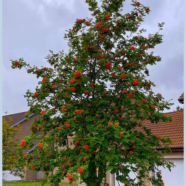 Oh Rowan Tree.jpg