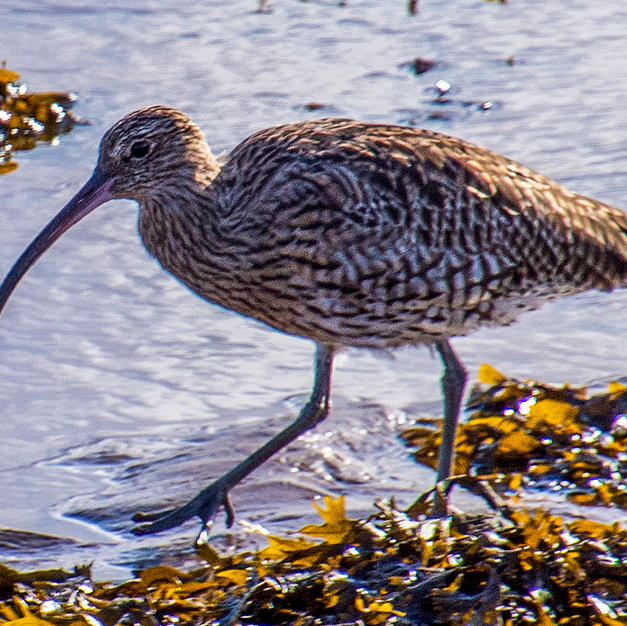 Curlew on the Lossie.jpg
