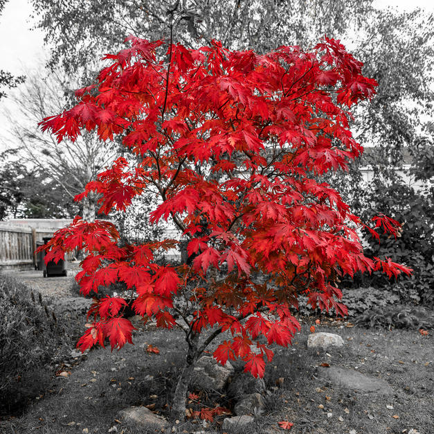 Acer in Autumn.jpg