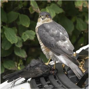 Sparrowhawk. Third Equal