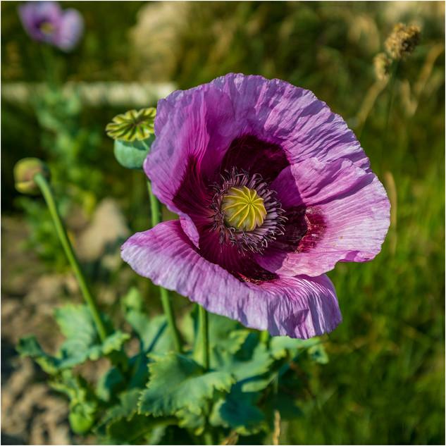 13_Wild Poppy.jpg