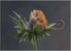 17-980_Harvest Mouse.jpg