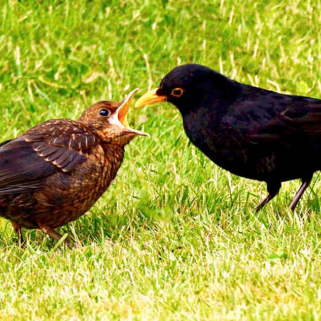 12_black bird feeding young.jpeg