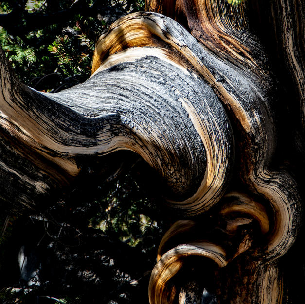 Bristle Cone Pine.jpg