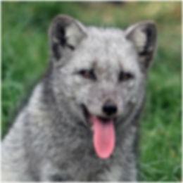 20_Arctic Fox Cub.jpg