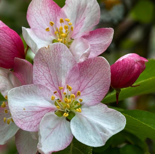 In Apple Blossom Time.jpg
