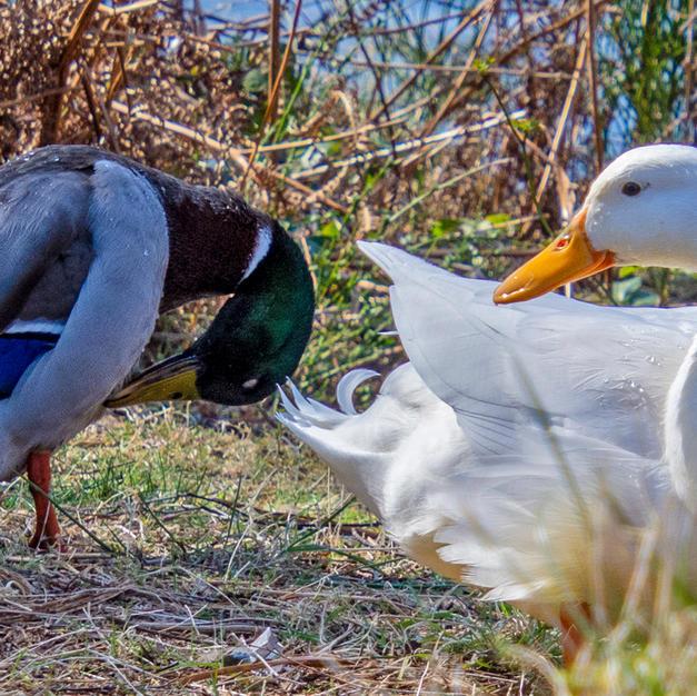 I said duck.jpg