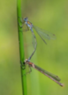 16-989_Damselfly Couple.jpg