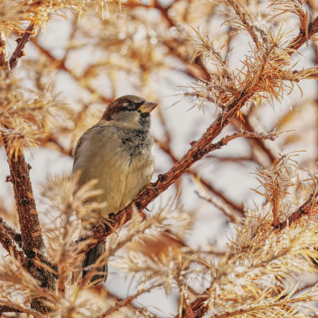 Sparrow in the Larch.jpg