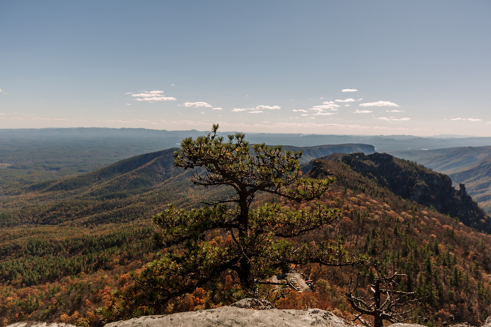 Pine tree at Linville Gorge