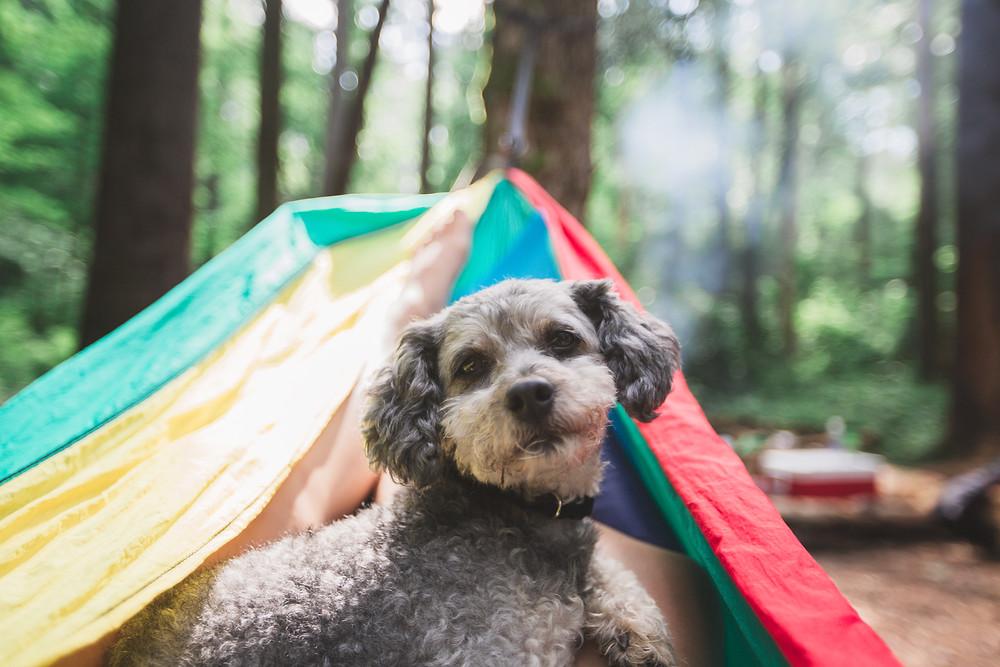 Miniature poodle in hammock