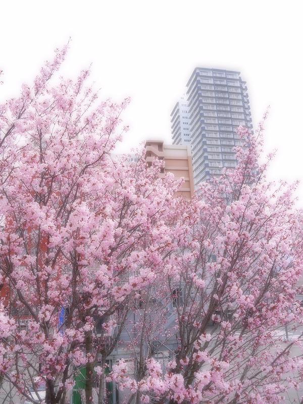 星園に咲く桜