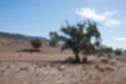 Quorn South Australia, Eucalyptus tree w