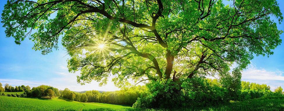 Die Sonne scheint durch einen großen, schönen Baum