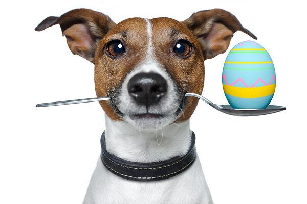 Ein witziger Hund hält einen Löffel mit einem Osterei im Maul