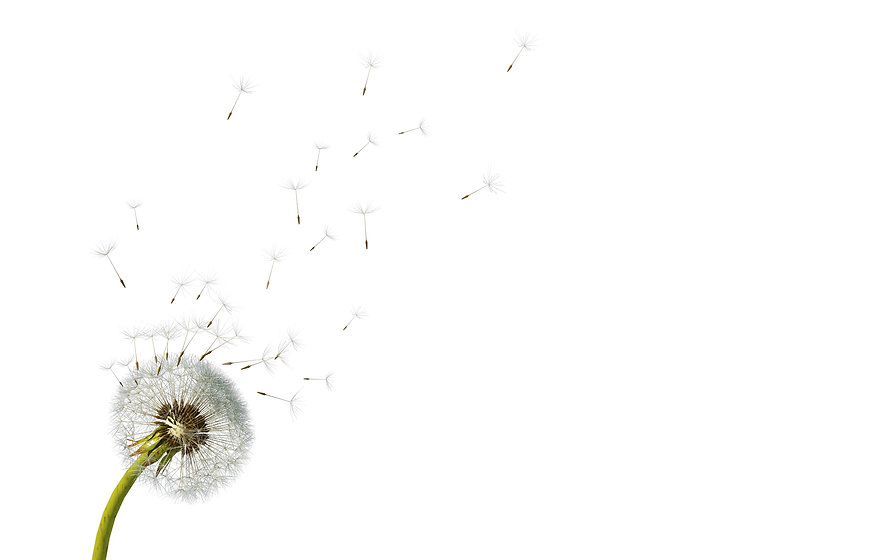 Dandelion. Close up of dandelion spores