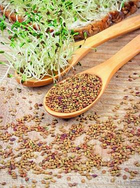 graines-germees-alfalfa-588x660.jpg