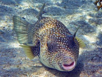 לאכול אבו -נאפחא ולהישאר בחיים  FUGU FISH