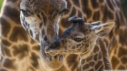 giraffes_animals-wallpaper-1920x1080