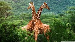 giraffes_africa-wallpaper-1920x1080