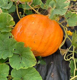 My orange pumpkin