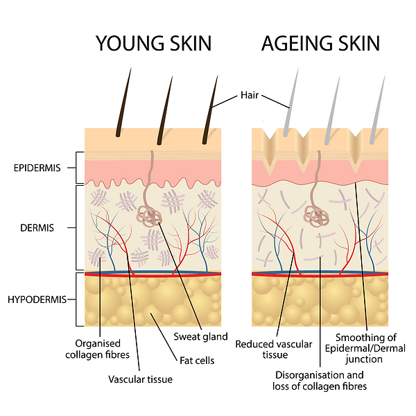 Young skin compared to ageing skin