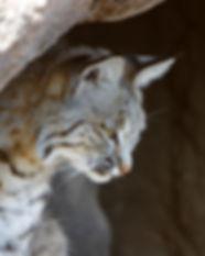 Bobcat_(Lynx_rufus)_portrait.jpg