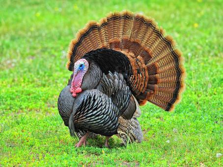 Kentucky Wild Turkey Update