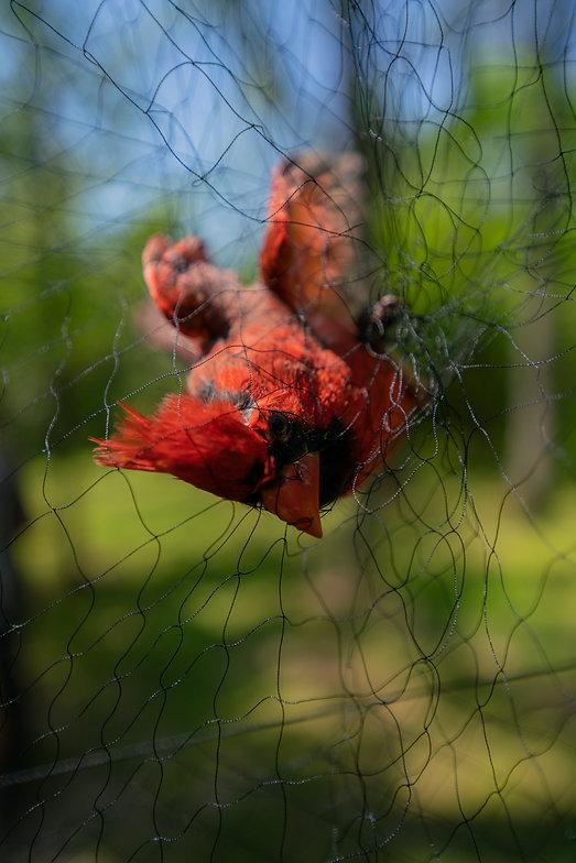 cardinal in net.jpg
