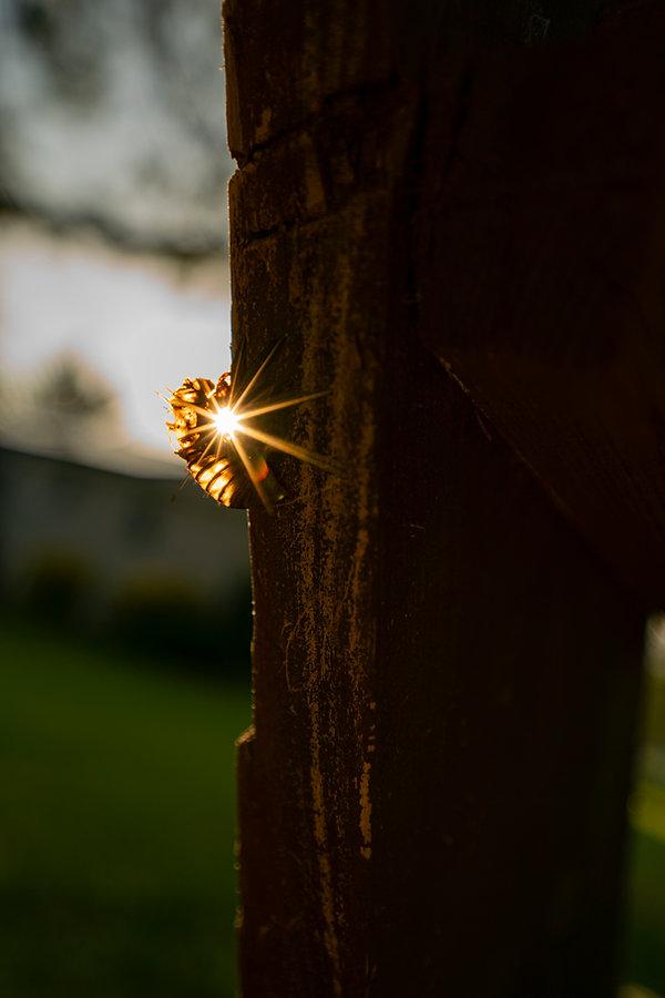 sunset cicada.jpg