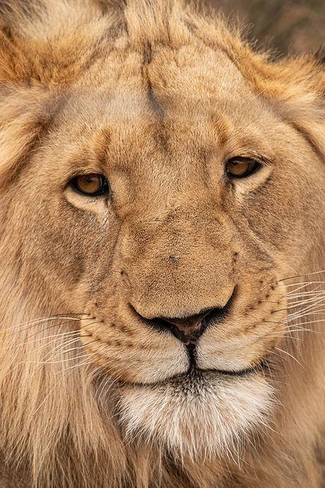 MeganSwart_Lion.jpg